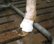 BOVIVET Huf Bandage