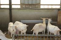 Tränketrog aus Edelstahl (für Schafe und Ziegen)