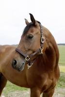 Pferdehalfter für GoLeyGo 2.0 | braun-hellblau