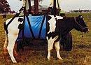 """Kuh Hebegeschirr """"Westfalen"""" Hebegerät für Kühe"""