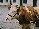 Vorführhalfter für Kühe aus Nylon