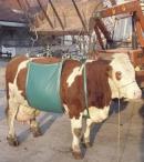 """Kuh Hebegeschirr """"Allgäu"""" Hebegerät für Kühe"""