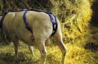 Vorfallbandage für Schafe